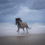 Islandpferd, Isländer, Strand, Sturm, Sonnenuntergang, Fuchs, Schimmel, Mausfalbe, Wellen, Meer, Dänemark, Orkan