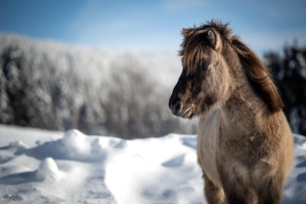 Isländer, Winter, Winterzauber, Islandpferd, Ponyliebe Fotografie, Portfolio Tag, Bayern, Bayerischer Wald, Riedelsbach, Fotoworkshop