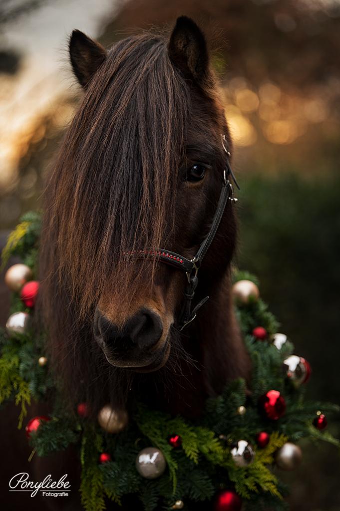 Weihnachtskranz, Pferd, Shootingaktion, Kranzaktion mit Pferd, Isländer, Kugeln, Ornaments, Weihnachtskugeln, Brauner, Weihnachten, Schmuck
