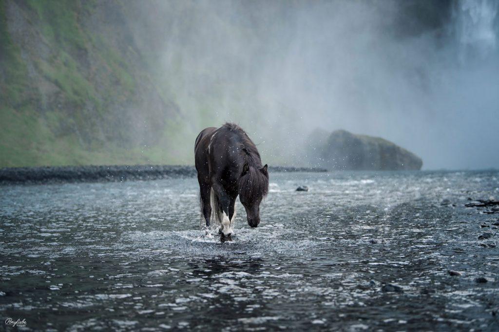 Schwarzes Islandpferd im Wasser mit Sprühnebel