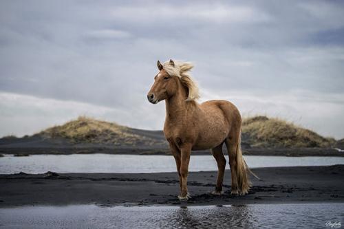 Braunes Isländer steht am Wasser im schwarzem Strand mit Sanddünen