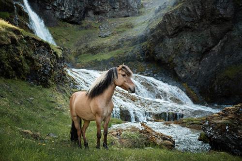 Islandpferd braunfalbe in Island mit Wasserfall und grüner Natur mit Felsen