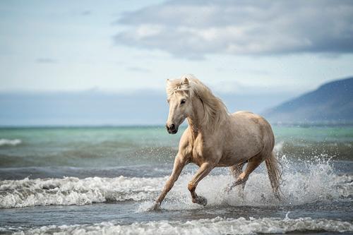Weißes Pferd galoppiert durchs Wasser bei Sonnenschein