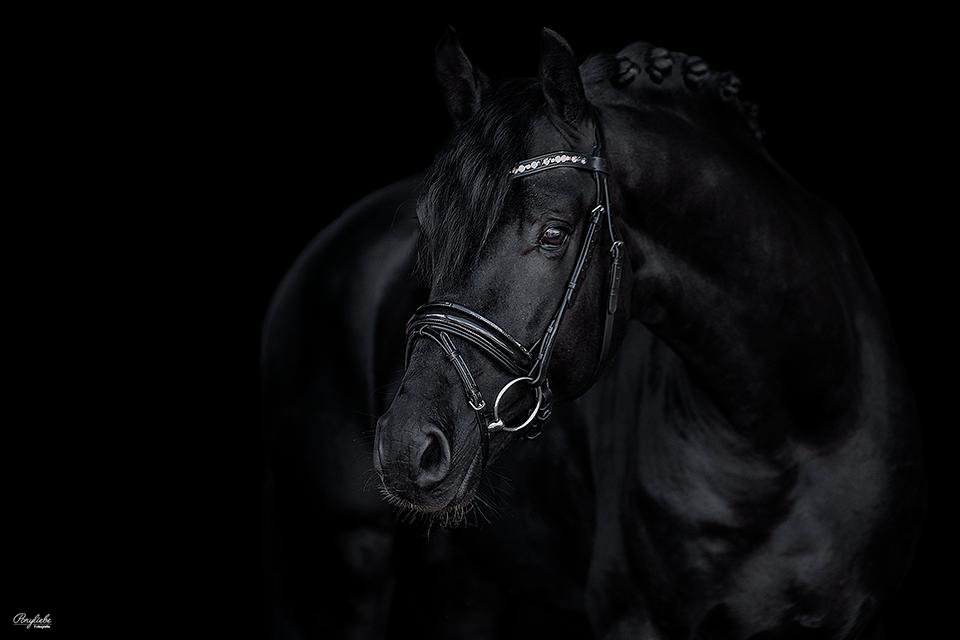 Schwarzer Hintergrund, Rappe vor Schwarz, Pferdefotografie