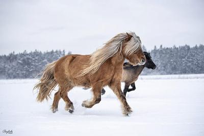 islaender_schnee_winterbild_ponyliebe_freilauf_herde_vorschau