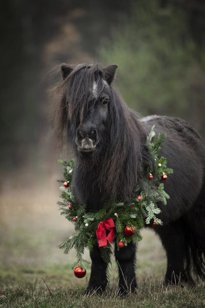 shetty, ponyliebe, weihnachtskranz, fotografie